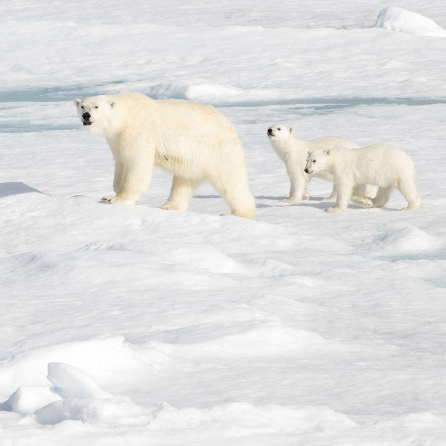 C7917 - Grand Arctic