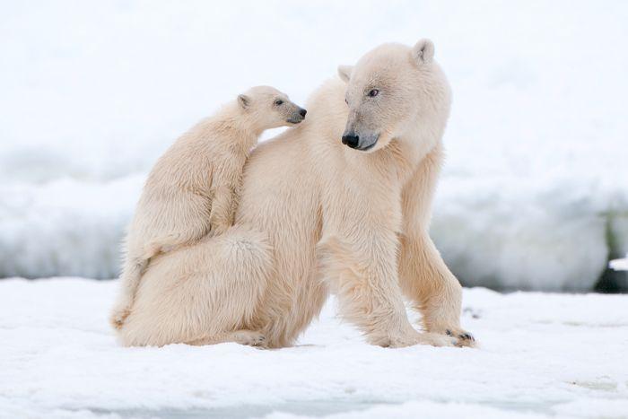 Silversea Luxury Cruises - Polar Bears, Svalbard
