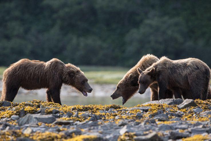 Brown Bear - Kukak Bay, Alaska