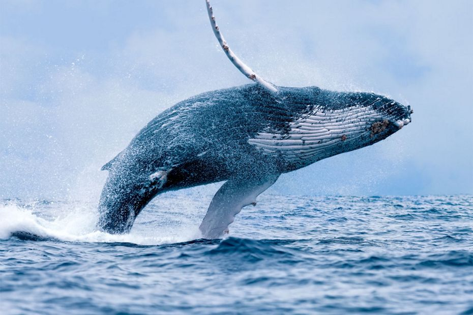 Silversea Luxury Themed Cruises - Whale Watching Voyages