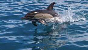 GROUNDBREAKING DISCOVERIES RECORDED DURING SILVERSEA'S FIRST WHALE WATCHING VOYAGES WITH ORCA