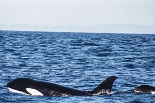 BLUE WHALES, ORCAS, DOLPHINS AND MORE: SILVERSEA'S WHALE WATCHING VOYAGES YIELD OVER 1,000 SIGHTINGS FOR GUESTS