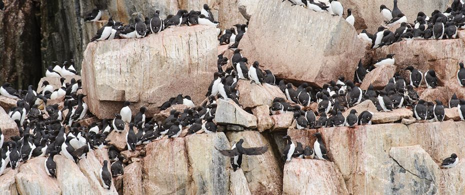 Thick Billed Murres
