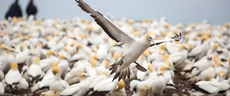 White Gannet Birds