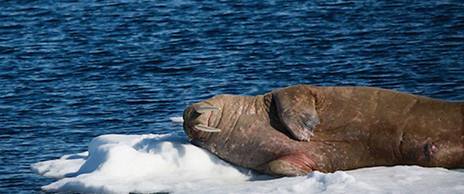 Cape Waring, Wrangel Island