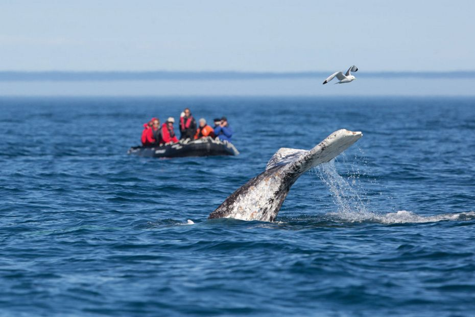 Grey Whale Watching - Kamchatka