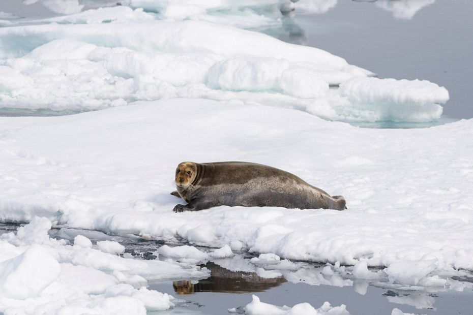 Bearded Seal (Erignathus barbatus)