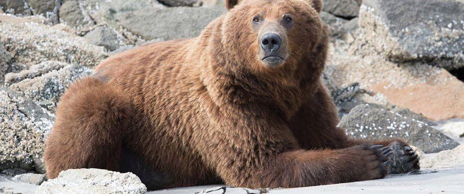Brown Bear - Geographic Harbor, Alaska