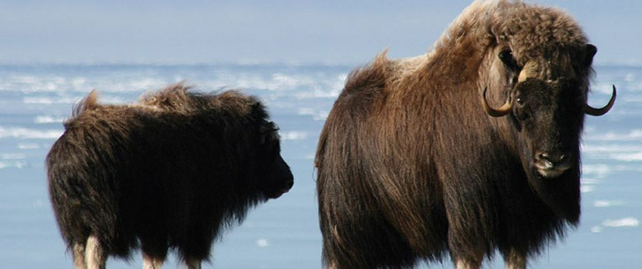 Silversea Luxury Cruises - Muskox