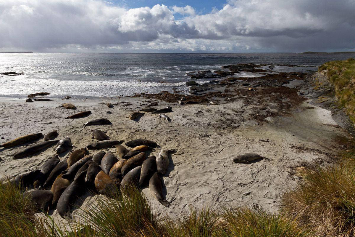 Sea Lion Island Falkland Silversea