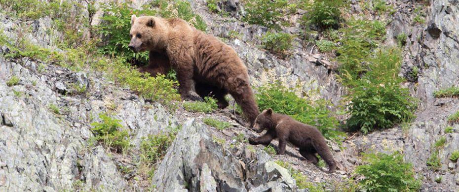 Brown Bears - Tintikyn Lagoon, Kamchatka